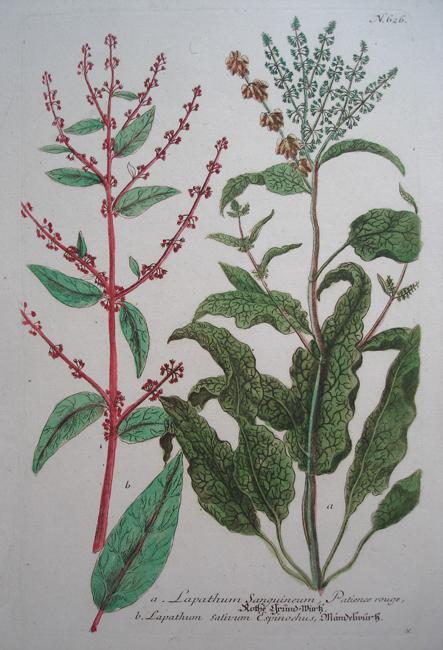 a) Lapathum Sanguineum, Patience rouge, b) Lapathum sativum Espinochus