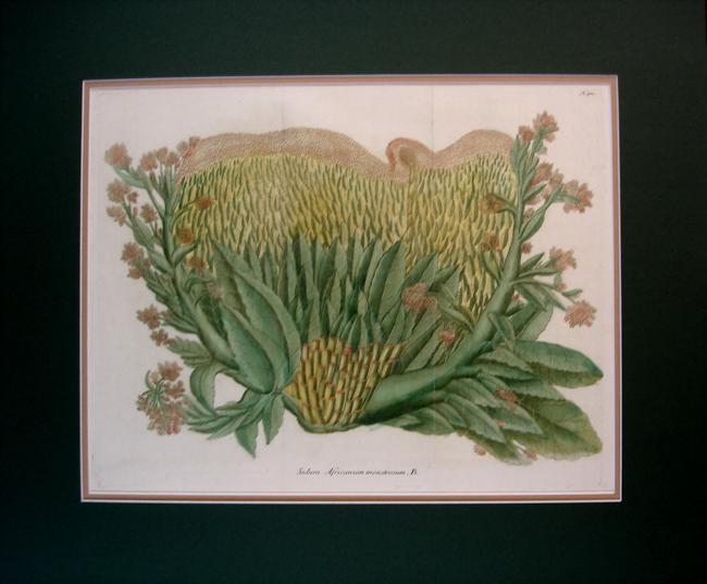 Sedum Africanum Monstrosum