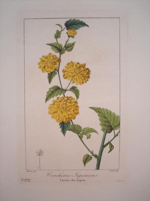 Corchorus Japonicus