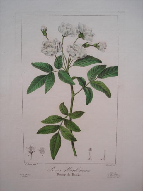 Rosa Banksiana