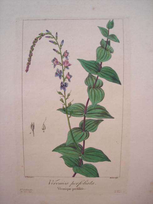 Veronica Perfoliata