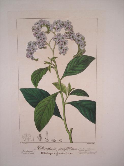 Heliotropium Grandiflorum