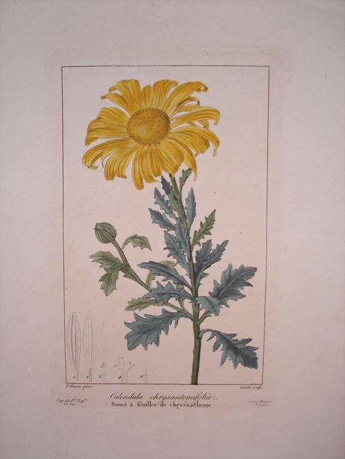 Calendula Chrysantemifolia