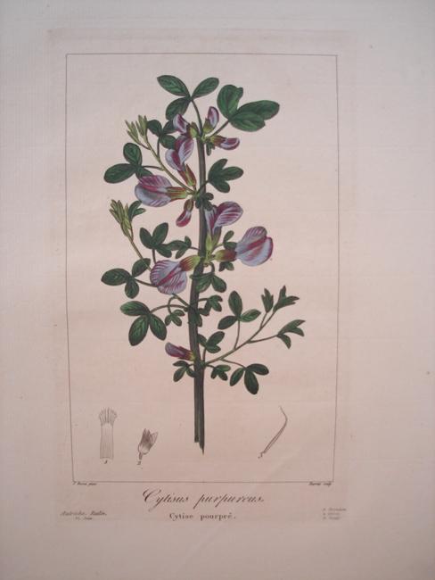 Cytisus Purpureus