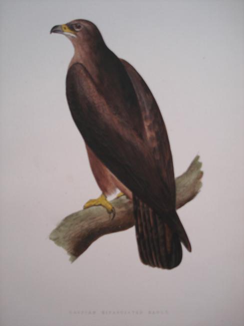Caspian Bifasciated Eagle