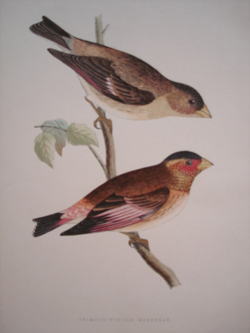 Crimson-Winged Grosbeak