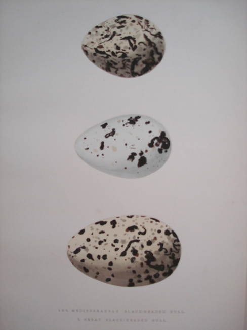 1 & 2) Mediterranean Black-Headed Gull, 3) Great Black-Headed Gull
