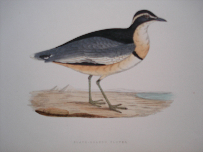 Black-Headed Plover