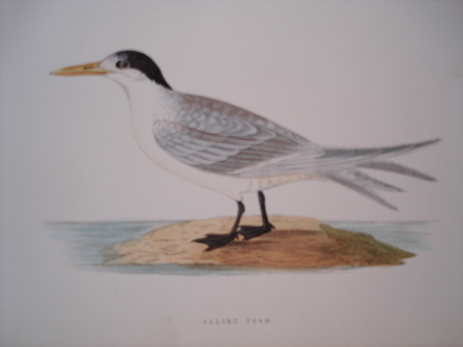 Allied Tern
