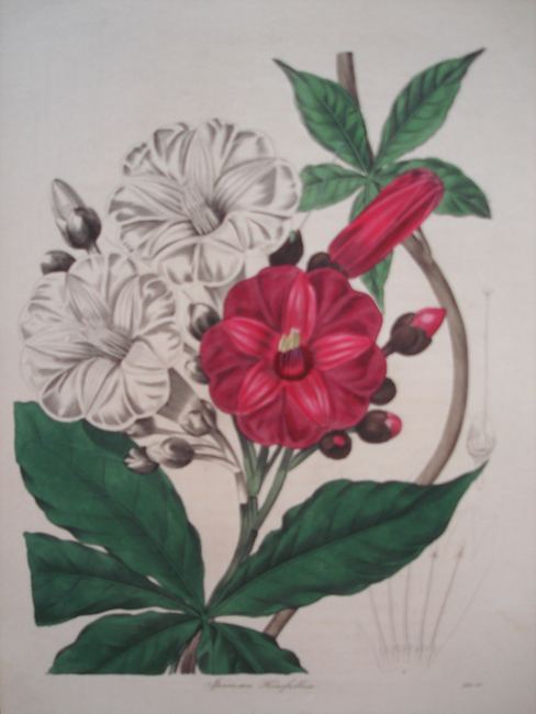 Ipomaea Horsfalliae (Mrs Horsfalls Ipomaea)