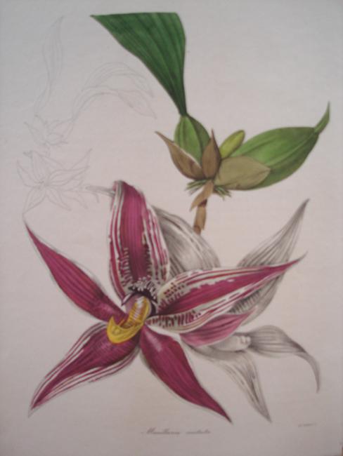 Maxillaria Cristata (Crested Maxillaria)