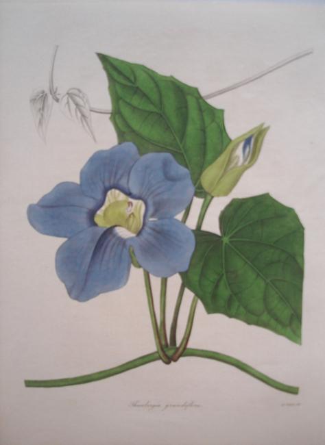 Thunbergia Grandiflora (Large Flowered Thunbergia)