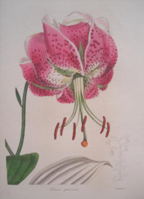 Lilium Speciosum (Shewy Lily)