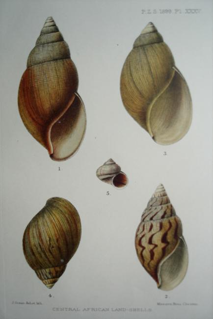 Central African Land Shells