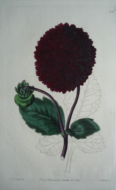 Dark Crimson Globe-Flowered Georgina