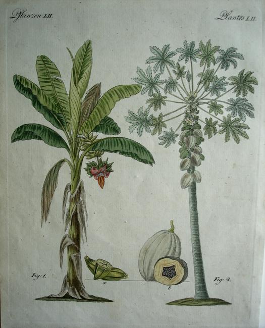 1) Musa Paradisiaca, 2) Carica Papaya