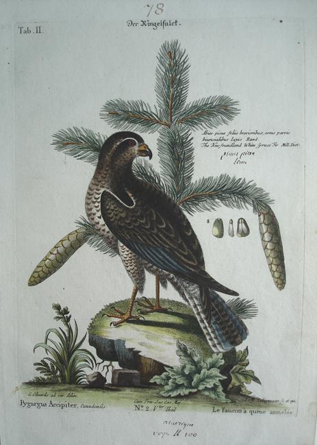 Pygargus Accipiter (Canadian Falcon)