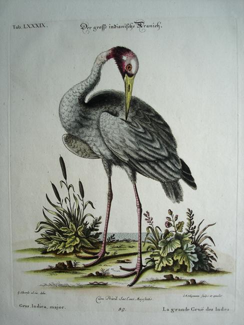 Grus Indica Major (Crane)