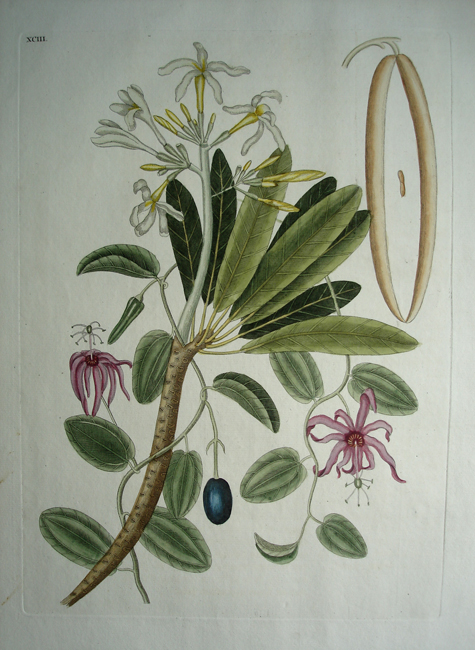 Plumeria Flore Niueo