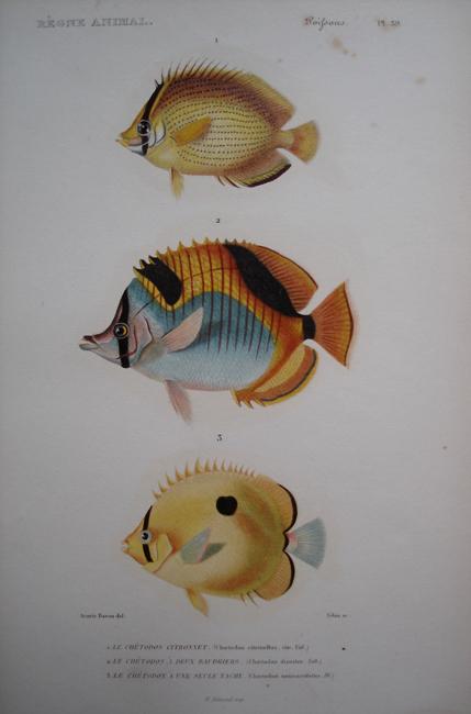1) Le Chetodon Citronnet, 2) Le Chetodon A Deux Baudriers, 3) Le Chetodon A Une Seule Tache