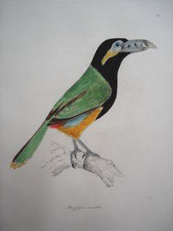 Pteroglossus Maculatus (Spotted Billed Aragari)