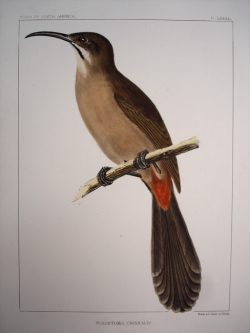 Toxostoma Crissalis (Red Vented Thrush)