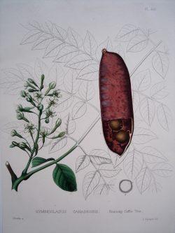 Gymnocladus Canadensis (Kentucky Coffee Tree)