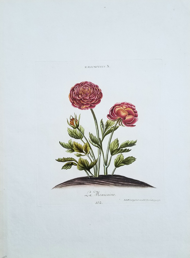 Ranunculus X