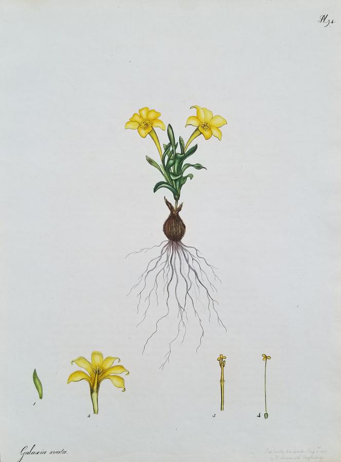 Botanical floral Engraving print
