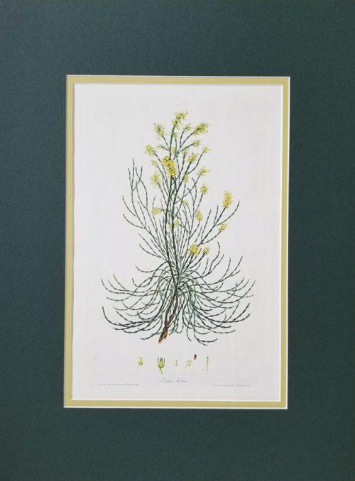 Antique Botanical Flower Print