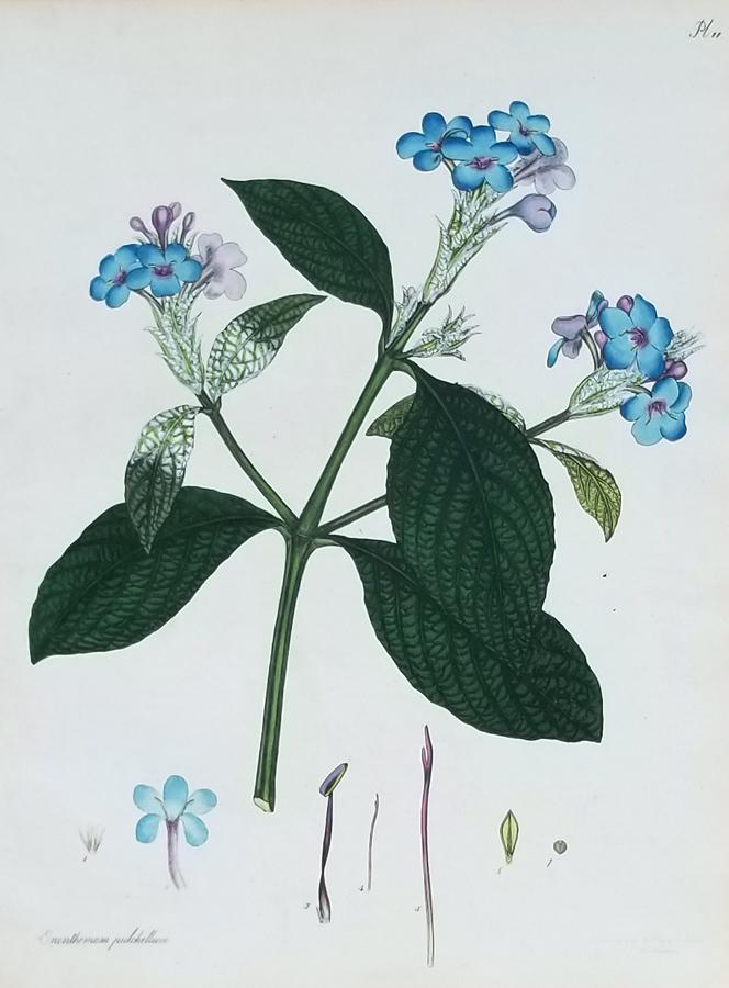 Botanical Antique Engraving