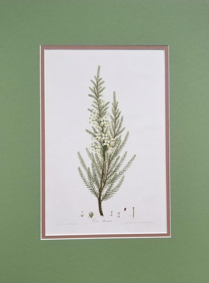 Original antique botanical print