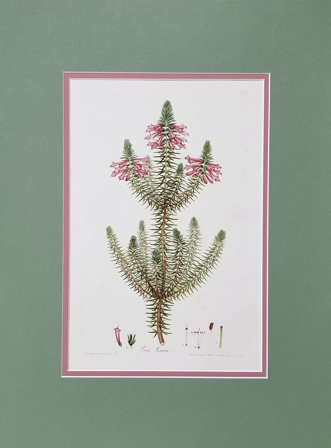 Antique Botanical Engraving Print