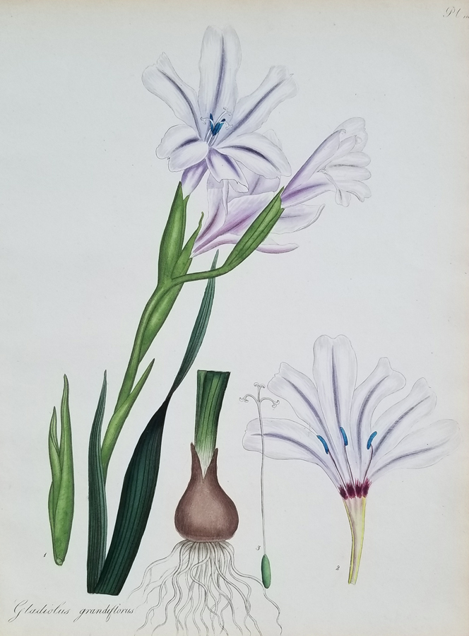 Botanical floral print, By Henry C. Andrews, Hand Colored