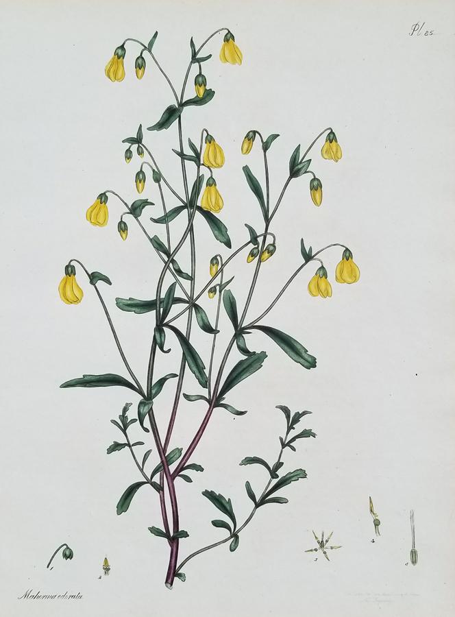 Antique Botanical Engraving Print
