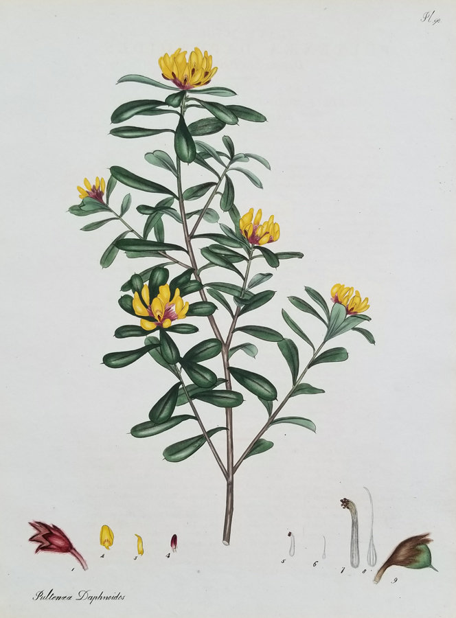 Fine Antique Botanical Print