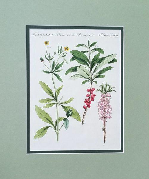 Antique Horticultural print