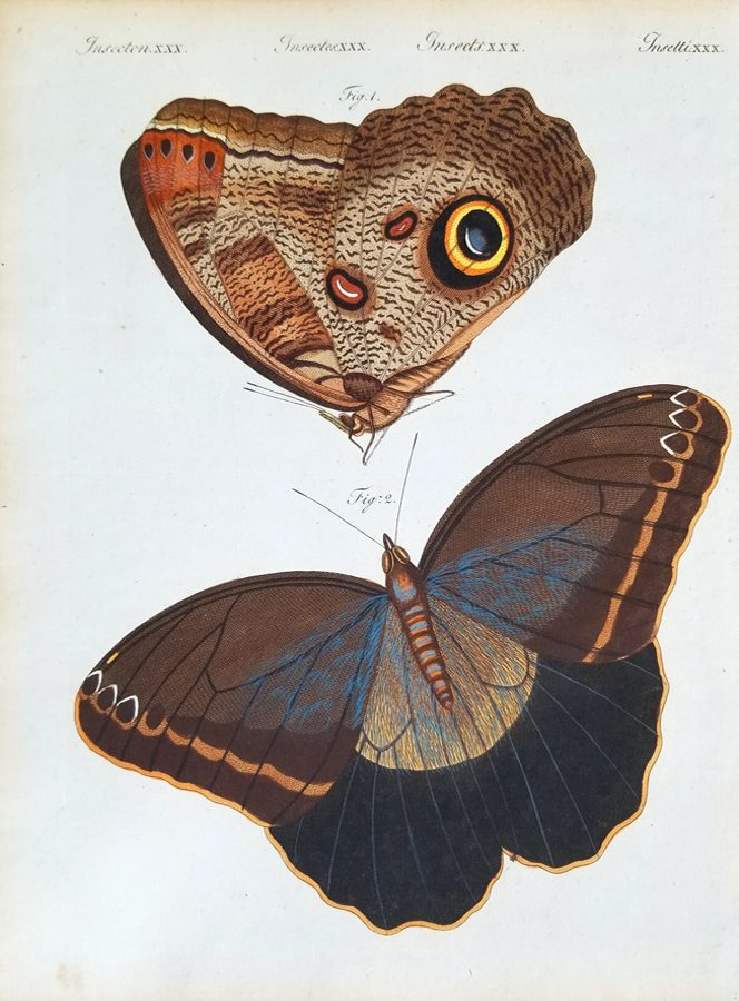 Papilio Eurilochus