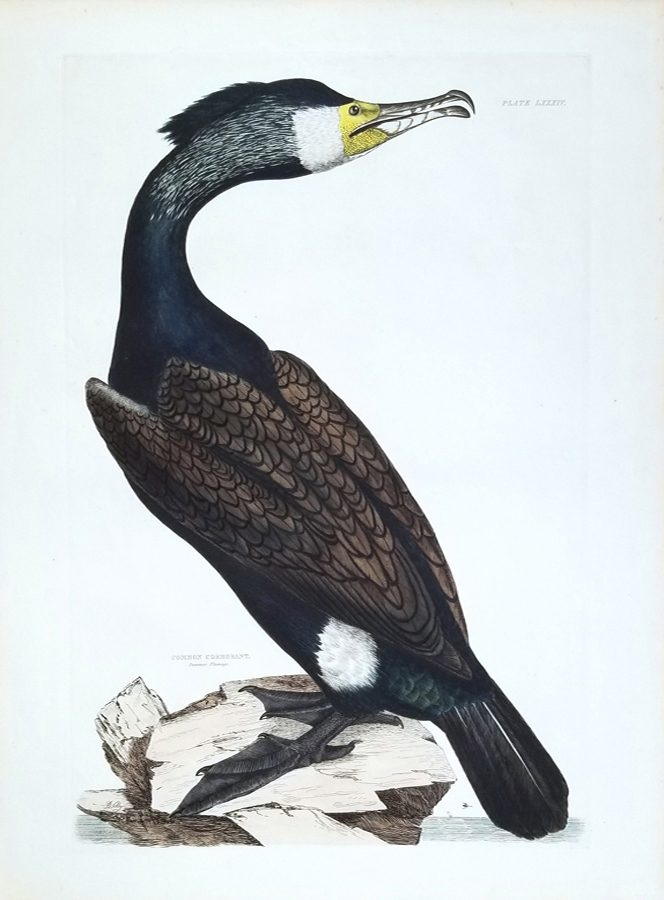 Common Cormorant (Summer Plumage)