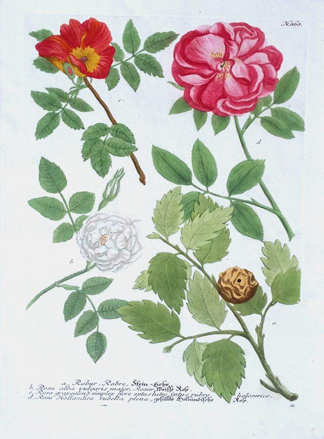 a) Robur, Robre; b) Rosa, Alba, Vulgaris, Major; c) Rosa, Graveolens Simplex Flore Extus Luteo Intus Rubro; d) Rosa, Hollandica Rubella Plena