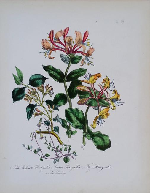 Loudon, Jane Webb (1807-1858)