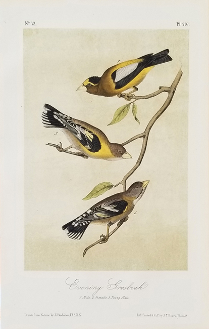 Audubon, John James (1785-1851) The Birds of America (Octavo edition) Published in London (1827-1838) and Later Edition Published in (1856-1871)