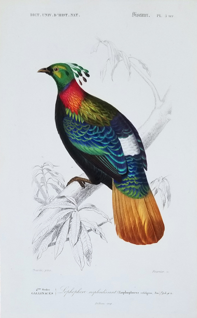 D'Orbigny, Charles Dessalines (1806-1876), Ornithology Category