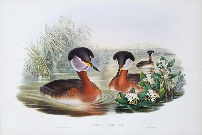 Gould, John (1804-1881) The Birds of Great Britain