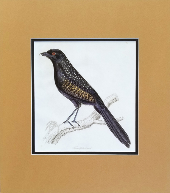 Selby, Prideaux John (1788-1867) / Jardine, Sir William (1800-1874) Illustrations of Ornithology