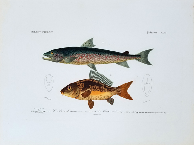 D'Orbigny, Charles Dessalines (1806-1876), Ichthyology Category