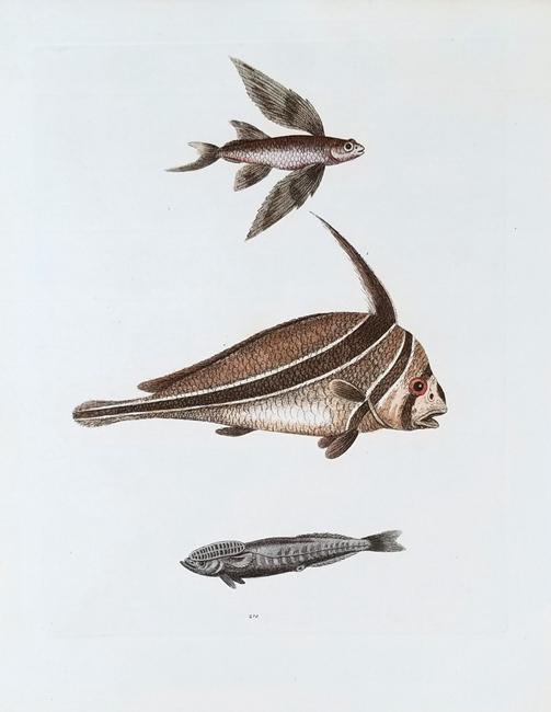 Edwards, George (1694-1773) Ichthyology Category