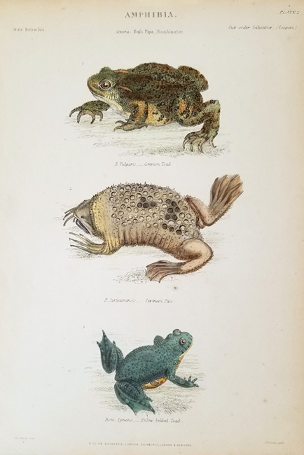 Miscellaneous Amphibia (19th Century)