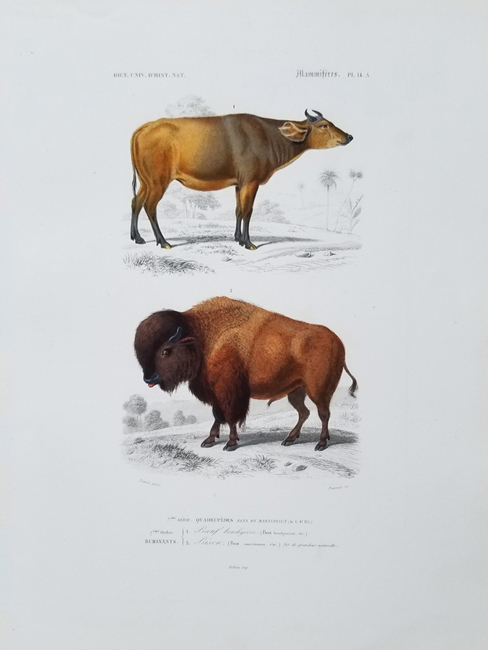 D'Orbigny, Charles Dessalines (1806-1876) Quadruped Category