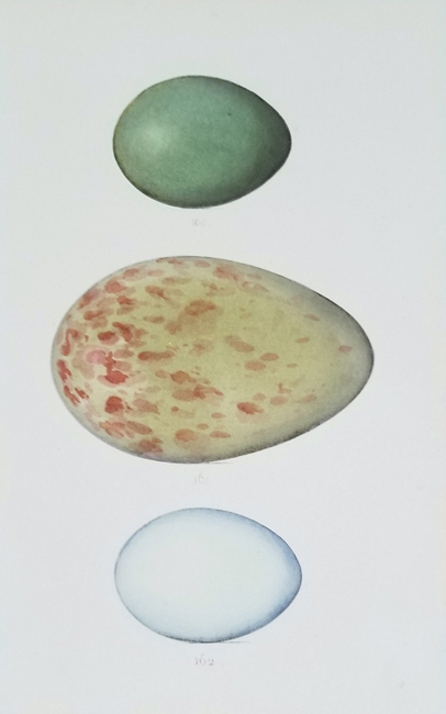 Miscellaneous Eggs (19th Century)